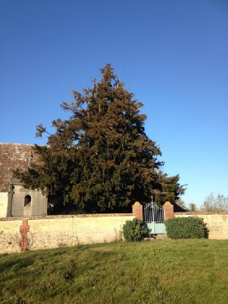L'ifs du cimetière de l'église d'Abbeville